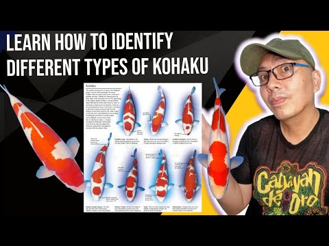 koi varieties different types of kohaku patterns Guide