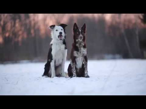 Border Collie Tissaia - Birthday Movie  ...:::MADzone:::...