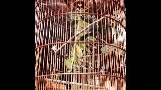 jual Burung Murai Batu Lampung Super harga 1,7 jt nego