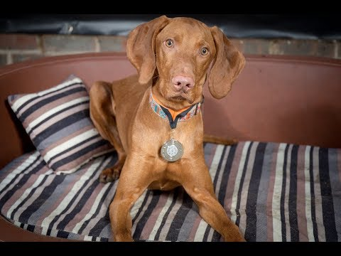 Fino - Hungarian Vizsla - 3 Weeks Residential Dog Training