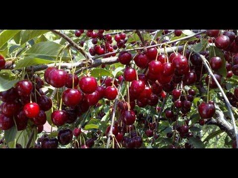 Обрезка вишни: особенности косточковых деревьев в саду    Ландшафтный Дизайн своими руками
