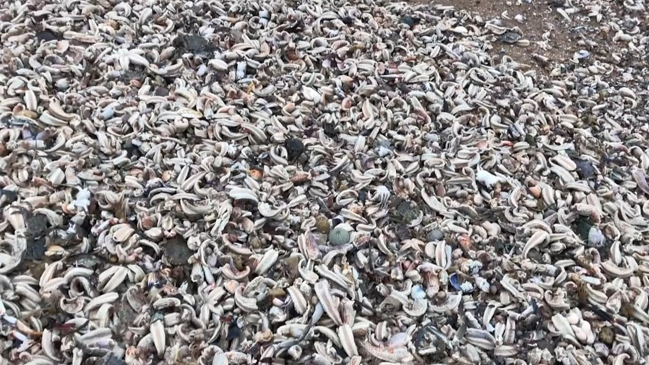 Thousands of starfish washed ashore after UK storm – video