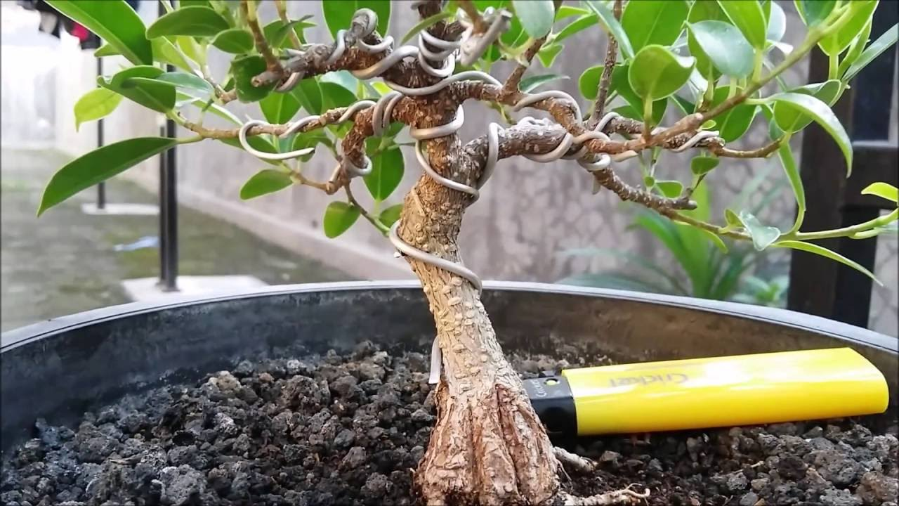 ficus microcarpa bonsai bonsai kimeng bonsai beringin taiwan rh youtube com Bonsai Shapes Japanese Bonsai Trees