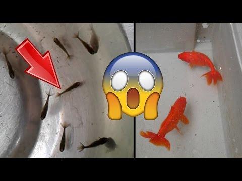 Repeat Wakin Goldfish from Blackwater Creek by Blackwater