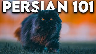 Persian Cat 101  Literally Everything You Need To Know (Updated)