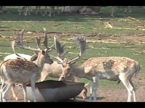RECORD BOOK FALLOW DEER Hunting Exotics With South Coast Safaris