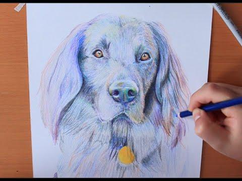 Drawing Dog: Flat Coated Retriever | RACHEL RIE