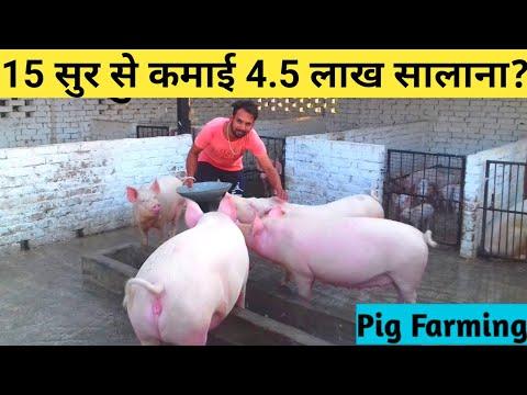 विदेश छोड़ सूर पालन करता|How to Start pig farming in india|Beginners Tips|pig farm Punjab