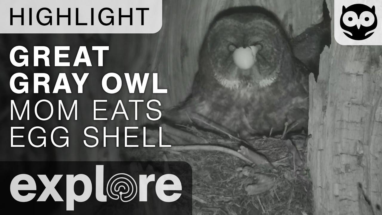 Great Gray Owl Mom Eats Egg Shell - Live Cam Highlight