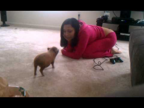 Micro mini potbelly pigs youtube - Pot belly pigs as indoor pets ...