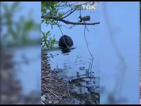 В Красноярске на Абаканской протоке заметили бобра