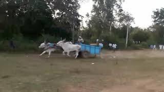 Bull race accident