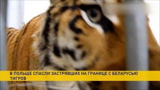 Тигры с польской границы спасены 260 тысяч собрано на их обустройство