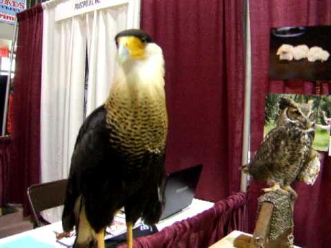 Cracker The Crested Caracara