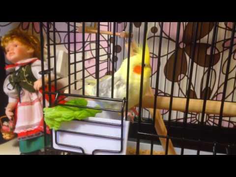 Попугай корелла повредил лапку!!!