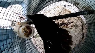 Chim sẻ quạt HÓT và MÚA tuyệt đẹp