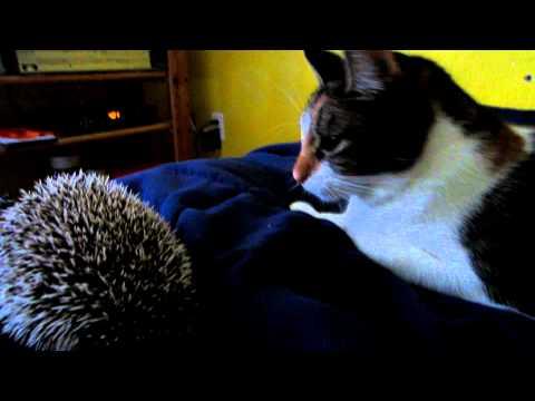 CAT VS. HEDGEHOG FIGHT!!!