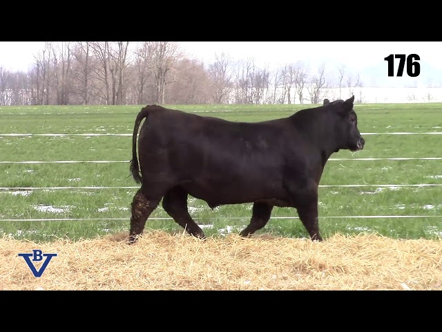 Branch View Angus Lot 176