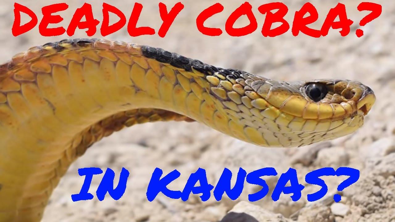 Cobra in Kansas