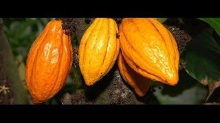 Budidaya Tanaman kakao #BAG-7 (Merangsang Tanaman Berbuah Lebat)