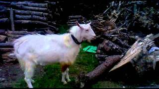 Goat farming in Sri Lanka