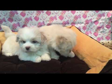 Lhasa Apso puppies for sale, www.EmpirePuppies.net