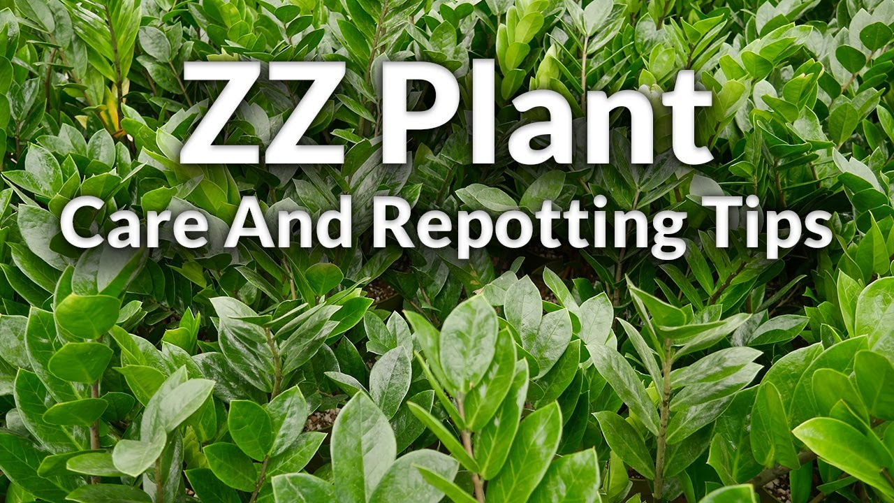 The Awesome Zz Plant Care Repotting Tips Joy Us Garden Youtube