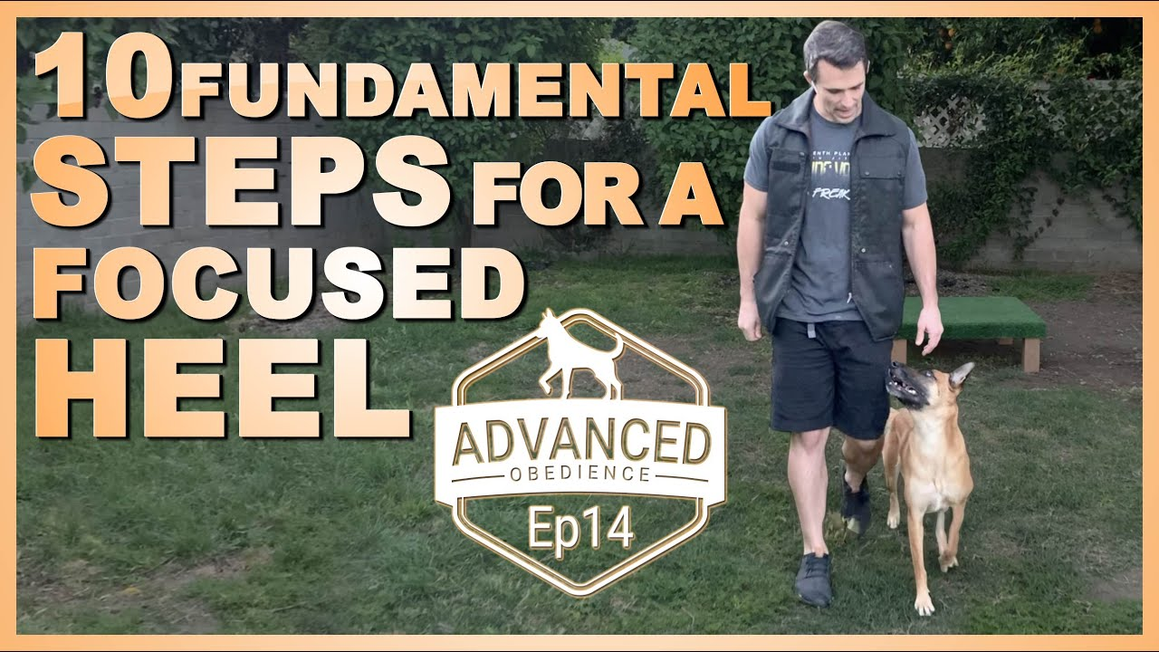 Download 10 Fundamental Steps for a Focused Heel. Advanced Obedience Ep14