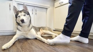 """Accidentally"" stepping on my husky's feet too many times.."