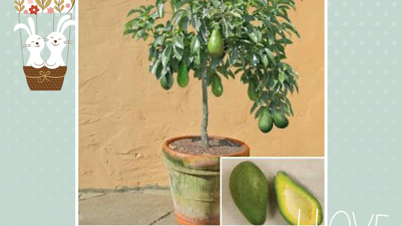como sembrar una planta de aguacate enana youtube