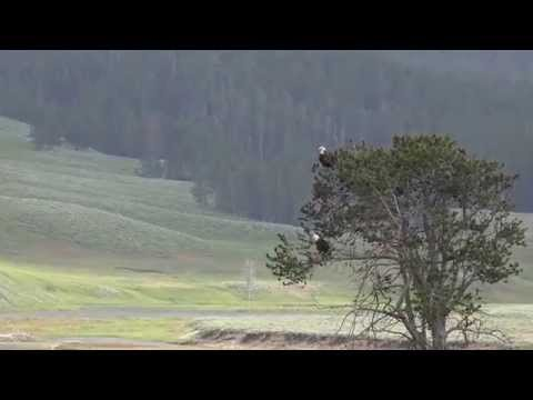 2 bald Eagles - Hayden Valley, Yellowstone
