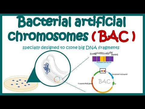 Bacterial Artificial Chromosome