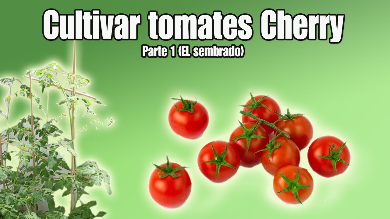 cultivo del tomate cherry sembrar tomates cherry parte 1 youtube. Black Bedroom Furniture Sets. Home Design Ideas