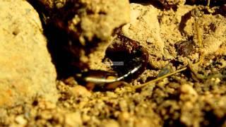 Earwigs - Dermaptera - Tijereta - Forficula auricularia - Almería
