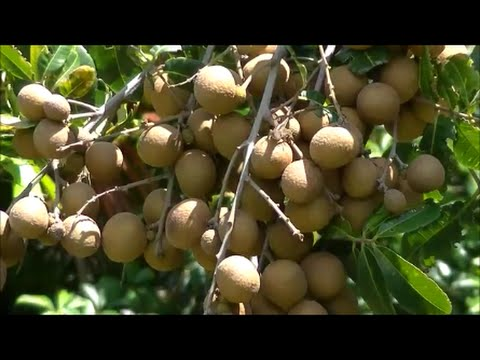 the longan fruit tree  lychee close relative  growing and eating, Natural flower