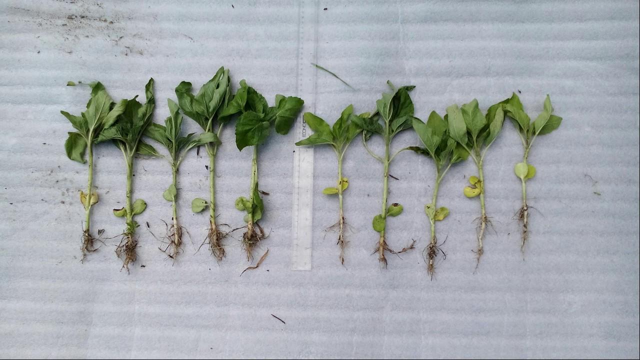 Влияние стимулятора роста Вымпел и микроудобрений Оракул на урожай .