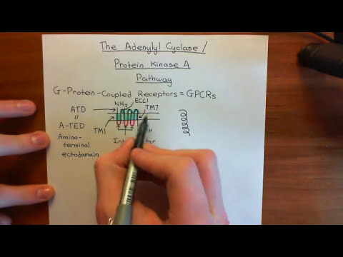 The Adenylyl Cyclase / Protein Kinase A Pathway Part 1