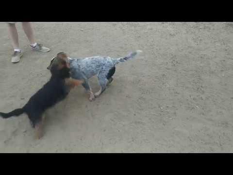 Kennebec vs Aussie Terrier