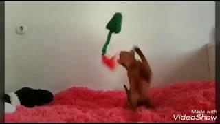 Абиссинская кошка и весёлая игра