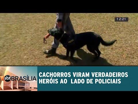 Cachorros viram verdadeiros heróis ao lado de policiais   SBT Brasília 16/07/2018