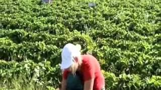 финляндия работа на ферме(сбор ягод в финляндии, работа на ферме , сбор клубники., 2012-12-14T12:18:12.000Z)