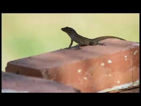 Anole Trance