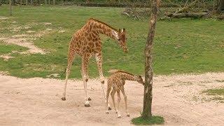 В бельгийском зоопарке празднуют рождение жирафёнка