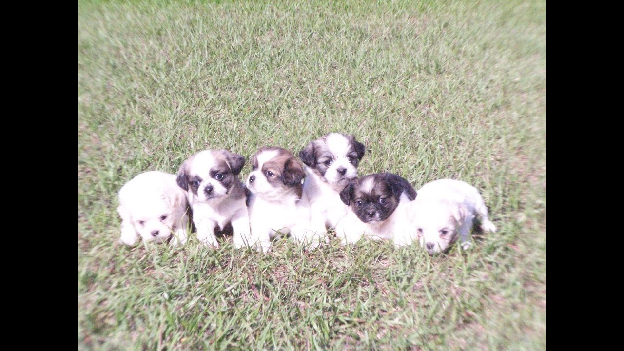 Dogs For Sale In Florence Sc