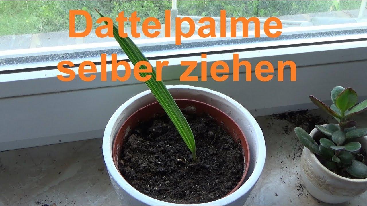 dattelpalme z chten dattel selber ziehen datteln palmen vermehren youtube