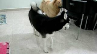 Siberian Husky Talking Reloaded