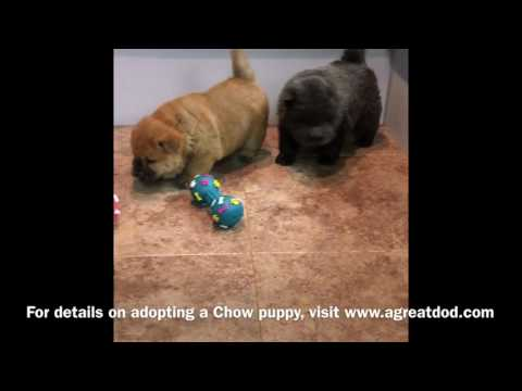 Chow Puppies Reserved
