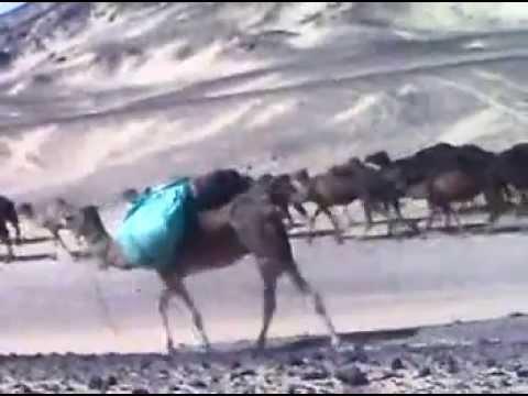 camels in black desert (I LOVE EGYPT)