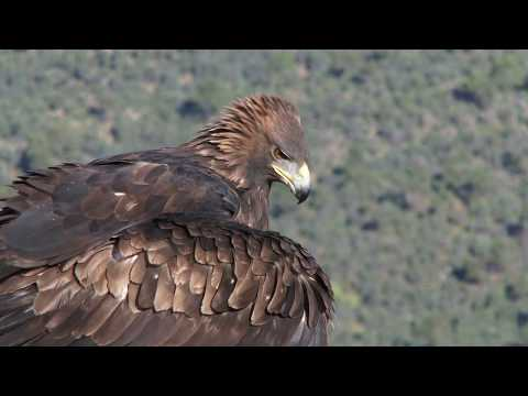 Golden Eagle and