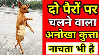 दो पैरों पर चलने वाला अनोखा कुत्ता  The Smart Dog  Talented Dog  Well Trained Dog